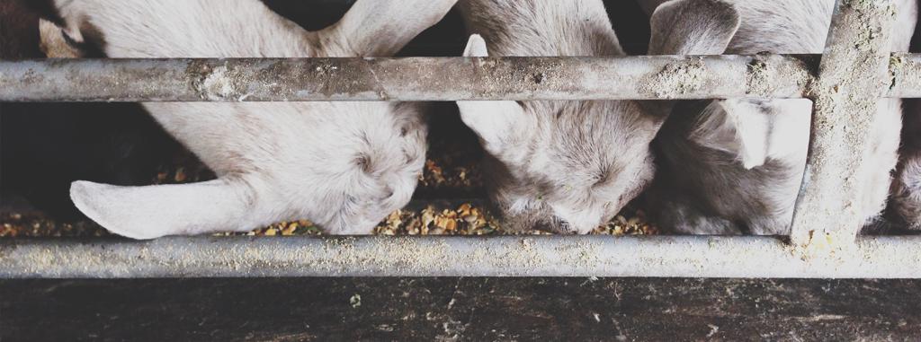 goat dairy farm